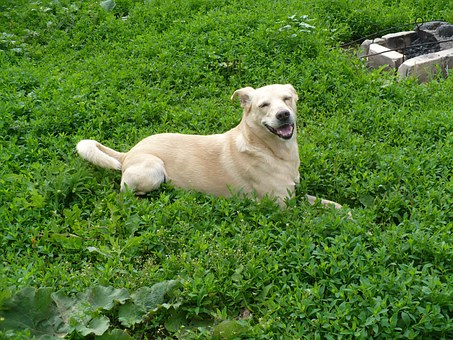 Dog, Glade, Summer, Yard, Mongrel, Beige, Merry, Meadow