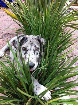 Dog, Plants, Hide, Pet, Puppy, Great Danes