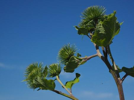 Great Burdock, Infructescence, Hooked, Liable
