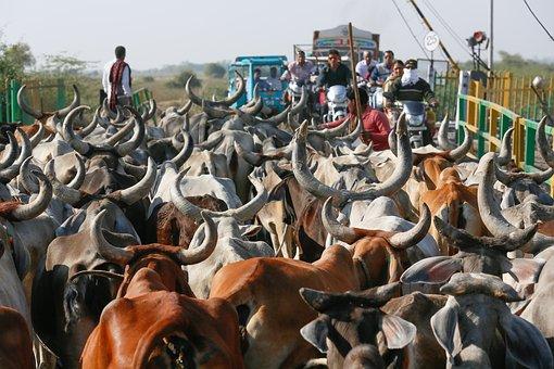 Cows, India, Animal, Agriculture, Asia, Milk, Rural