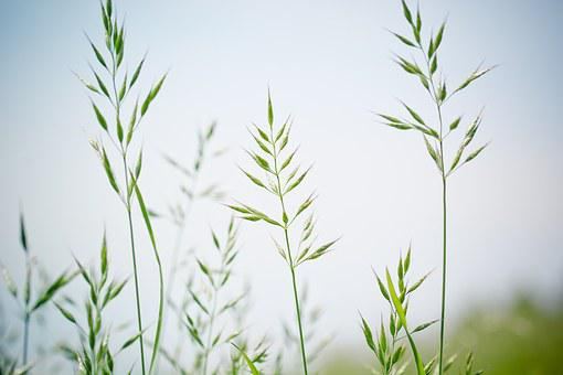Pointed-fescue, Licorice, Ear, Forage Grass