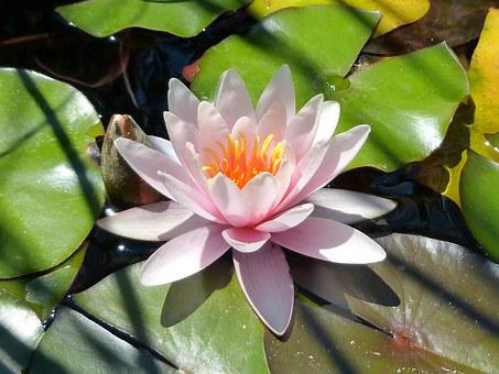 July, Margaret Island, Summer, Plant, Pink, Water Lily