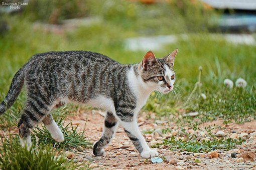 Kitten, Spotted, Cat, Outdoors, Walk, Grass, Gray Fur