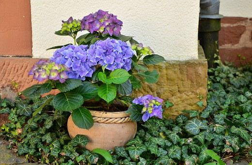 Flowerpot, Hydrangeas, Patio Plants, Plant