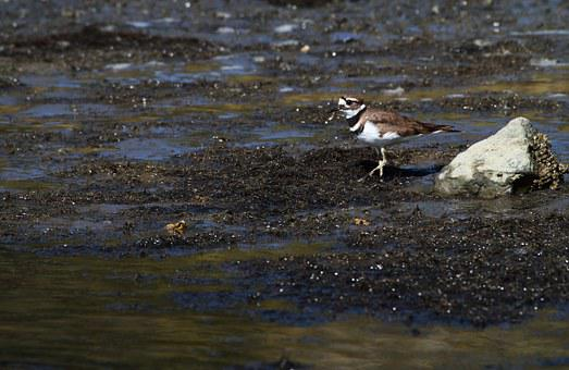 Killdeer, Plover, B, Bird, Nature, Wildlife, Wild
