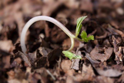 Seedling, Germ Leaves, Wildling, Plug, Seeds, Leaves