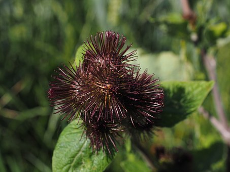 Pods, Barb, Ripe, Great Burdock, Infructescence, Hooked