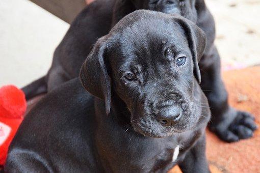 Puppy, Dog, Great Dane, Black, Pet