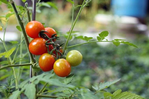 Tomato, Tomatoes, Red, Green, Agriculture, Branch
