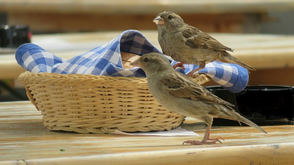 Sparrows, Birds, Sparrow, Animal, Close, Plumage, Wing