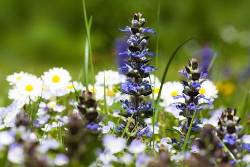 Meadow, Spring Meadow, Flowers, Small, White, Blue