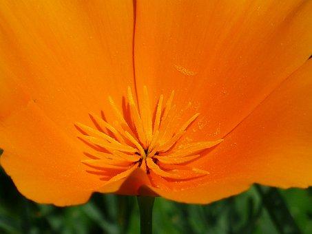 Stamen, Pollen, Bee Pollen, Eschscholzia Californica