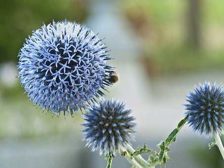 Thistle, Blue, Prickly, Bee
