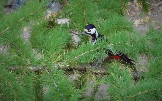 Woodpecker, Tree, Pine, Nature, Forest, Trees
