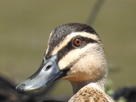 Duck, Bird, Nature, Animal, Wild, Lake, Water