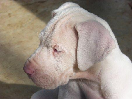 Puppy, Dog, Great Dane, White Dog, Adorable, Pet