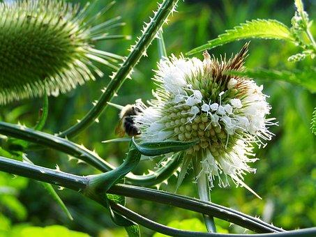 Milk Thistle, Wildflower, Herb
