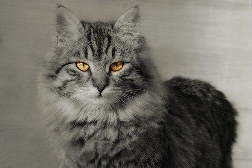 Cat, Mammal, Animal, Cat Eye, Looking