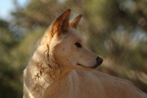 Nature, Animal, Mammal, Outdoors, Wildlife, Dingo