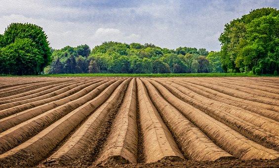 Field, Asparagus, Asparagus Field, Agriculture