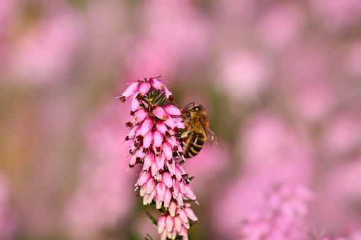 Heather, Bee, Flowering, Plant, Spring
