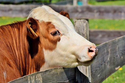Cow, Beef, Cattle, Bovine Ear, Ruminant, Livestock