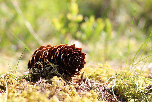 Nature, Tap, Pine Cones, Forest, Forest Floor, Brown