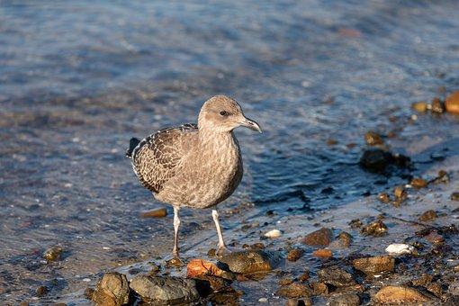 Australia, Tasmania, Juvenile Pacific Gull, Coastal