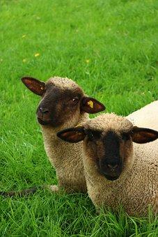 Grass, Mammal, Meadow, Farm, Field, Cute, Animal, Sheep