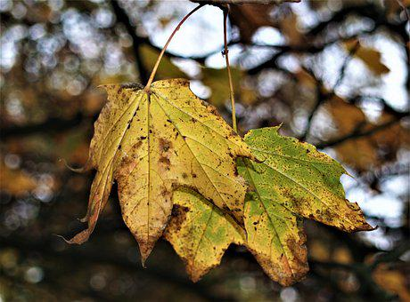Leaf, Fall, Nature, Outdoors, Flora, Tree, Maple
