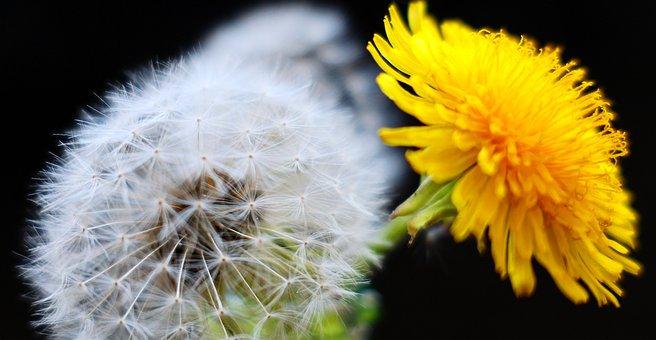 Dandelion, Nature, Plant, Flower, Summer, Bright, Color