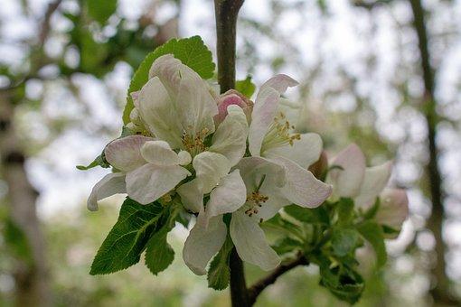 Apple Blossom, Blossom, Bloom, Flower, Plant, Tree