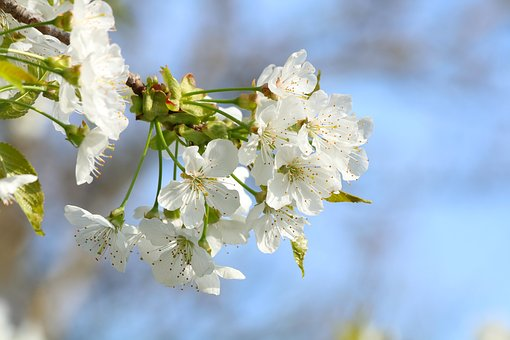 Blossoming Cherry, White Flowers, Flowering, Spring