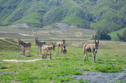 Wild Burro, Herd, Mountain, Valley, Green, Nature