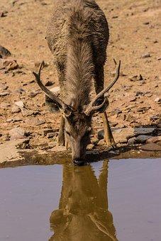 India, Ranthambore, National Park, Samba Deer, Drink