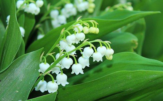 Konwalie, Spring Flowers, May