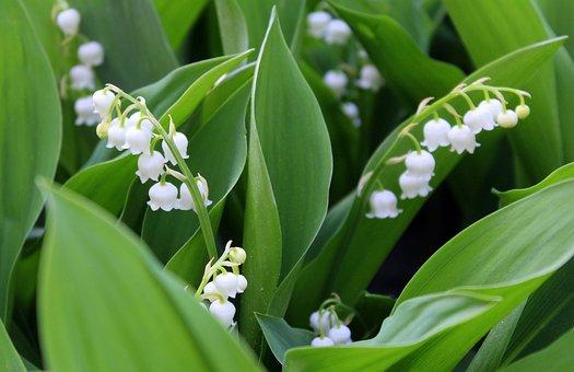 Konwalie, Spring Flowers, May, Spring, Nature