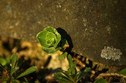 Stone Crop, Wall, Plant, Green, Stone, Macro, Lichen