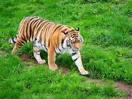 Tiger, Big Cat, Cat, Wildlife, Carnivore, Mammal