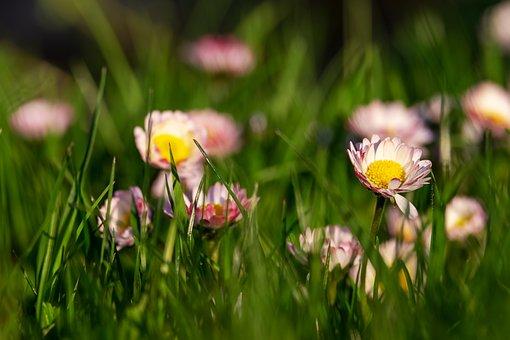 Daisy, Bellis, Multiannual Daisy, Tausendschön, Meadow