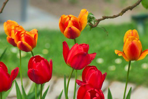 Nature, Flower, Plant, Leaf, Tulip, Red