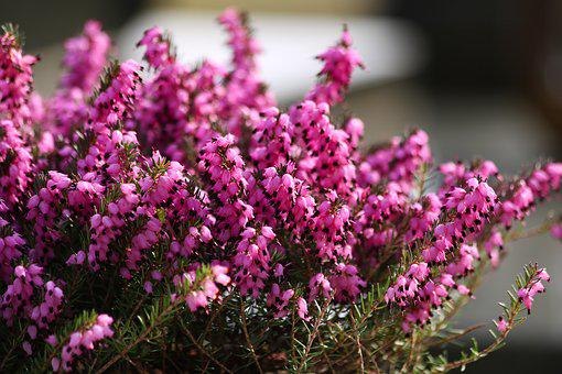 Heather Red, Flowering, Plant