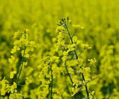 Oilseed Rape, Rape Blossom, Yellow, Agriculture, Flower