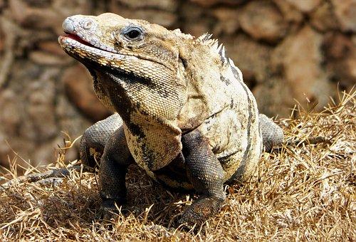Animal, Nature, Fauna, Reptile, Wild, Iguana, Mexico