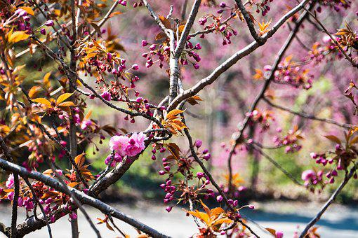 Cherry, Tree, Branch, Season, Nature, Flower, Park