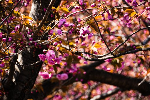 Cherry, Spring, Tree, Branch, Season, Nature, Leaf