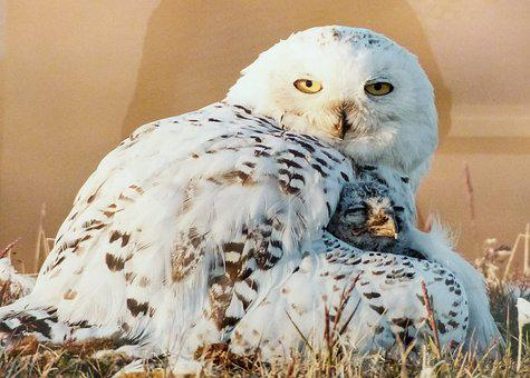 Snow Owl, Bird, White, Chick, Animal, Predator