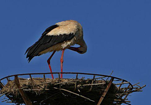 Stork, White, Nature, The Nest, Migratory, Bird