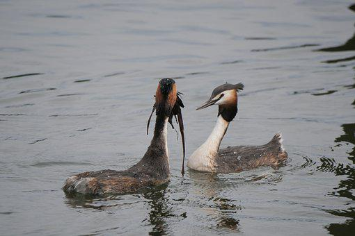 Waters, Great Crested Grebe, Courtship, Courtship Dance