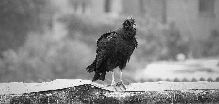 Birds, Gallinazo, Wild Life, Nature